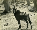 Sable antelope bull with tickbirds sitting on its back